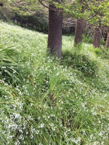 A hillside of Allium Triquetrum